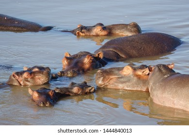 Happy hippo family having a nap on a sunny afternoon in a river.