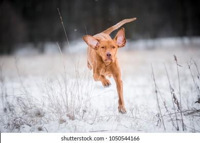 Happy hungarian vizsla pointer dog on snow