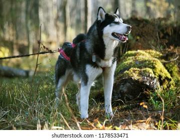 happy husky dog , canicross