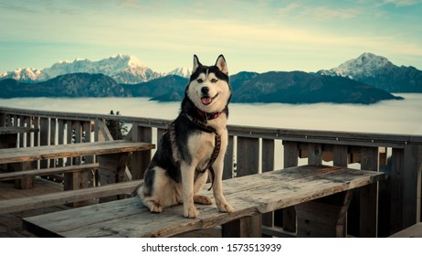Happy husky dog posing with awesome mountains covered with snow in the background.