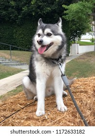 Happy and inquisitive dog (Alaska Klee Kai, or mini-husky) on top of hay in a residential neighborhood.