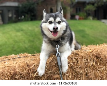 Mini Husky Images Stock Photos Vectors Shutterstock