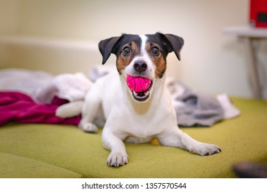 Happy jack russel dog playing with his pink ball, chewing it on his bed