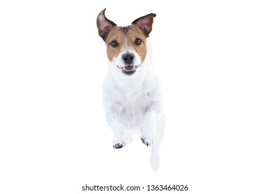 Happy Jack Russell Terrier dog isolated on white background running and jumping straight towards camera