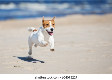happy jack russell terrier dog on a beach