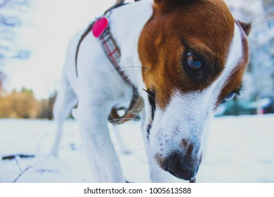 Happy jack russell terrier playing in the snow in the winter