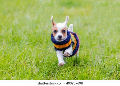 Happy Jack Russell Terrier Running Toward The Camera, Shallow Depth Of Field With Focus On The Face
