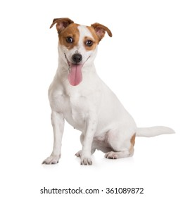 happy jack russell terrier sitting on white