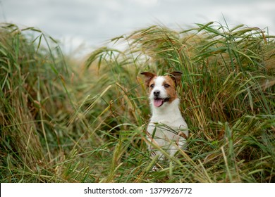 Happy Jack Russell Terrier In Wheat. Travel with a pet. dog in nature