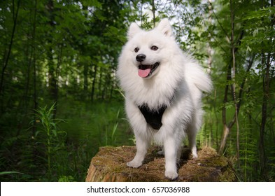 Happy japanese spitz breed dog in forest