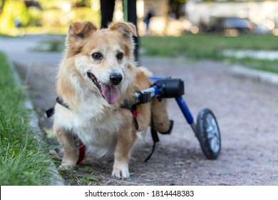 Happy joyful dog while walking in park. Day in the life of dog with disability.
