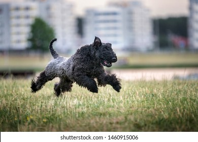 Happy kerry blue terrier playing outdoors.