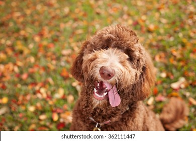 Happy Labradoodle Dog with Head Tilt and Tongue Out Looking at Camera