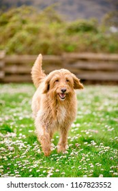 Happy Labradoodle dog running in a grassy field
