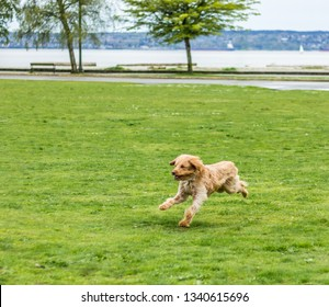 Happy Labradoodle dog running in a grassy field.