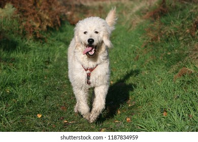 Happy Labradoodle moving through grass field