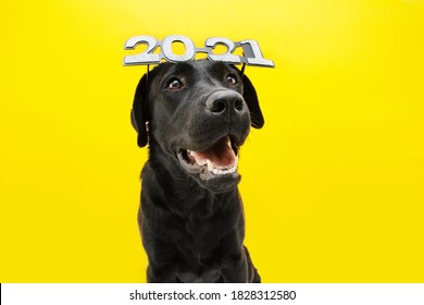 Happy  labrador dog celebrating new year 2021 with text glasses. Isolated on yellow background.
