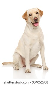 Happy Labrador dog sits on a white background