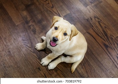 Happy Labrador puppy sits in a room. Top view. The concept of pets.