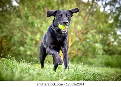 Happy Labrador pure breed dog running through the park retrieving tennis ball. Close up action shot with beautiful green colour trees and grass.