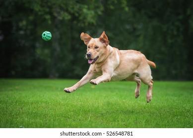 Happy labrador retriever dog playing with a ball