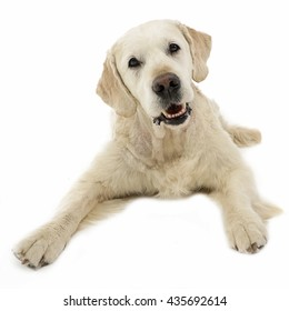 Happy labrador retriever posing in white photo studio