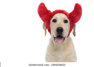 happy labrador retriever puppy dog wearing devil horns for halloween panting on white background
