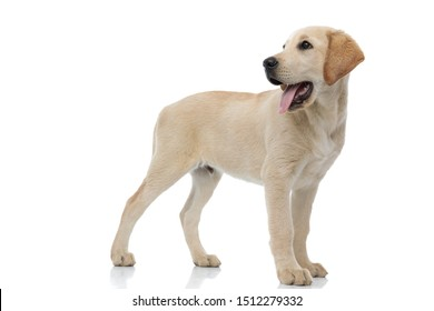 happy labrador retriever puppy standing and  looks back over its shoulder on white background