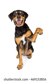 Happy large breed dog sitting on white lifting one arm up. Place your product under paw.