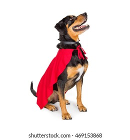 Happy large dog wearing red superhero cape while sitting to side on white and looking up