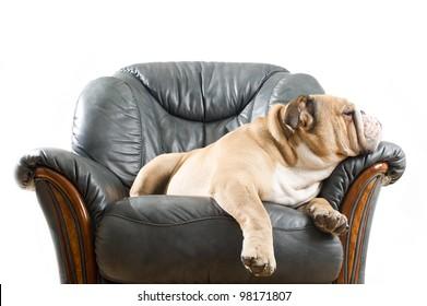 Happy lazy dog English Bulldog on a leather armchair sofa
