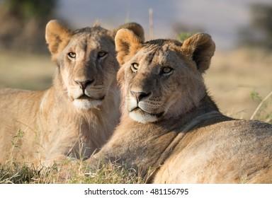 Happy lions on african savannah in Kenya