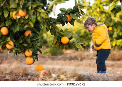 A happy little boy at orange orchard