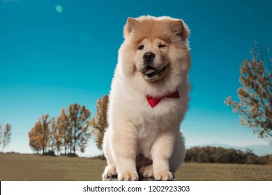 happy little chow chow puppy dog wearing bowtie smiles for the camera against blue sky background