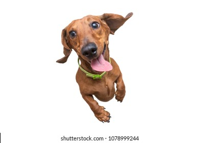 Happy and a little crazy brown dachshund jumping on camera. White isolated background