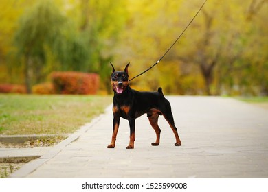 Happy little dog (miniature pinscher or minipin) standing on a leash and looking directly at the camera. Beautiful autumn park in the background.