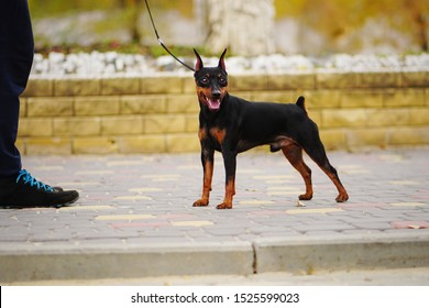 Happy little dog (miniature pinscher or minipin) standing on a leash next to its owner and looking directly at the camera. Dog emotions. Outdoors