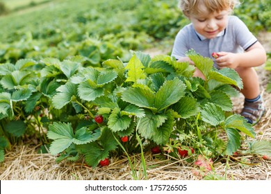 Happy little toddler boy on pick a berry organic strawberry farm
