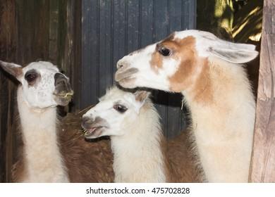 Happy llama family eating hay