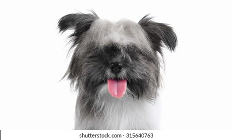 Happy long haired puppy dog smiling, selective color focus on tongue
