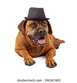 A happy Mastiffdog wearing a black and white pinstripe vintage gangster style hat