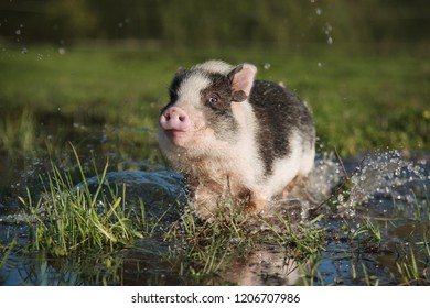 Happy mini pig playing in a puddle