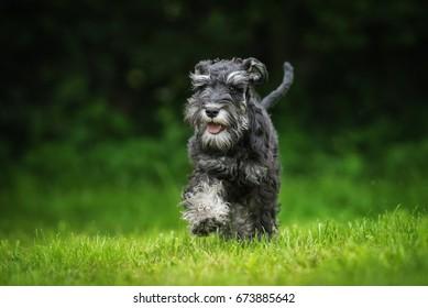 Happy miniature schnauzer puppy running