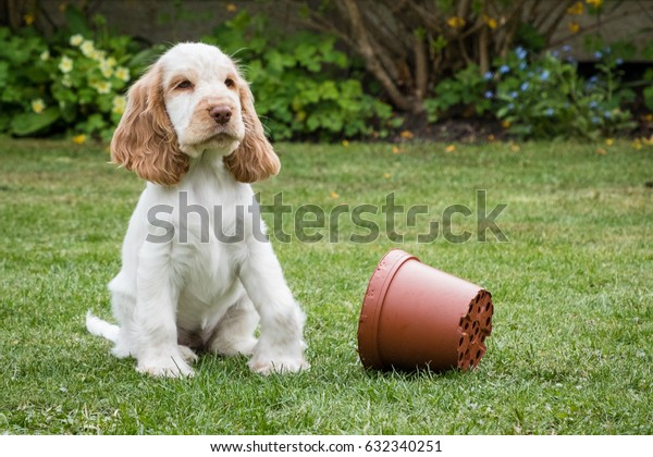 Happy mischievous cocker spaniel puppy in garden contemplating next move