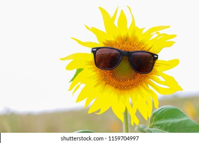 Happy morning with funny sunflower wearing sunglasses on a sunny day