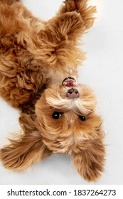 Happy in motion. Maltipu little dog is posing. Cute playful braun doggy or pet playing on white studio background. Concept of motion, action, movement, pets love. Looks happy, delighted, funny. - Shutterstock ID 1837264273