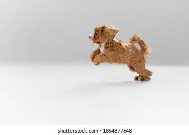 Happy in motion. Maltipu little dog is posing. Cute playful braun doggy or pet playing on white studio background. Concept of motion, action, movement, pets love. Looks happy, delighted, funny. - Shutterstock ID 1854877648