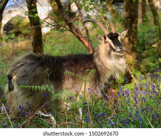 A happy mountain goat in the Highlands of Scotland surrounded by blue bells and ferns