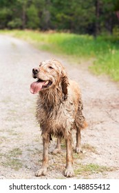A happy, muddy, and wet golden retriever in the outdoors