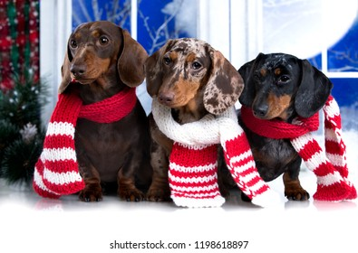 Happy New Year Christmas  dachshund,  holidays and celebration pet